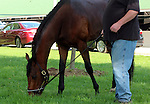 LOUISVILLE, KY - APRIL 25: Discreetness (Discreet Cat x Fondness, by Elusive Quality) grazes near his barn at Churchill Downs, Louisville KY. Owner Xpress Throughbreds LLC, trainer William H. Fires (Photo by Mary M. Meek/Eclipse Sportswire/Getty Images)