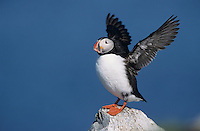 Atlantic Puffin, Fratercula arctica, adult flapping wings, Hornoya Nature Reserve, Vardo, Norway, Europe