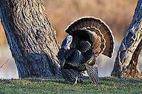 Wild Turkey, Tom, San Angelo, TX