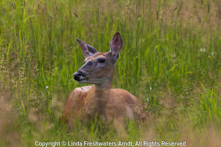 White-tailed doe bedded in a northern Wisconsin meadow.