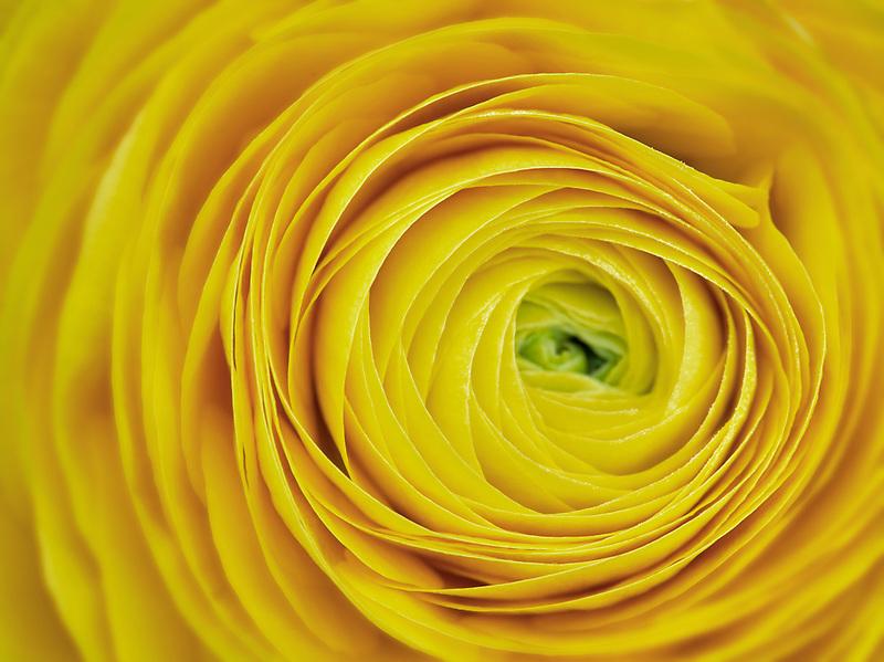 Close up of yellow ranunculus flower
