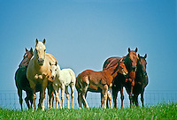 Two families of quarter horses with foals standing on a hill