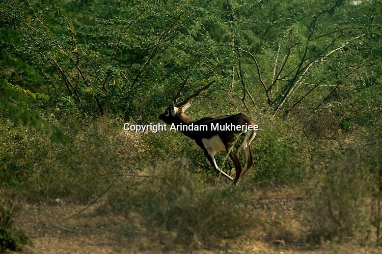 A wild male full grown black buck in the forest area near Jodhpur, Rajasthan, India. Arindam Mukherjee.