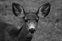 Black & white portrait of a mule deer doe in winter