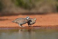 Northern Bobwhite (Colinus virginianus), pair drinking at pond, Rio Grande Valley, South Texas, Texas, USA