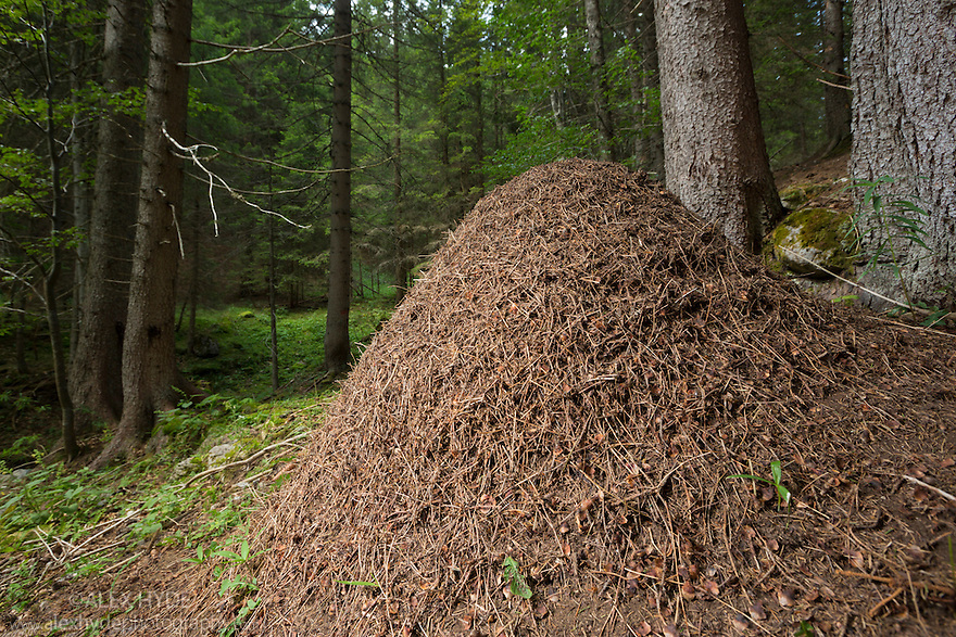 Wood Ant nest {Formica rufa} constructed from pine needles and other debris from the forest floor. Julian Alps, Slovenia, July.