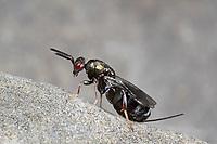 Erzwespe, Monodontomerus, Erzwespen, Chalcidoidea, chalcidoid wasp, chalcidoid wasps