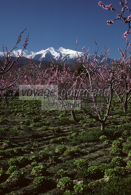 Europe/France/Languedoc-Roussillon/66/Pyrénées -Orientales/Env de Bouleternère : Verger en fleurs et massif du Canigou