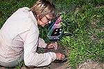 Turtle biologist, Julie Lisk with Zoo New England carefully excavates out Wood turtle nest searching for fertilized eggs.  She uses various size paint brushes when she locates eggs as to not chance damaging the unborn turtle.