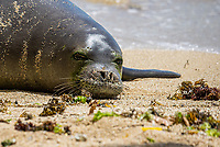 HONOLULU, HI - April 26, 2021: Hawaiian Monk Seal, Kaiwi, before giving birth on a beach in Waikiki in Honolulu, HI on April, 26, 2021. The Hawaiian Monk Seal in an endangered species. <br /> CAP/MPI/EKP<br /> ©EKP/MPI/Capital Pictures