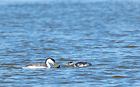 A Clark's Grebe, Aechmophorus clarkii, offers a fish to its mate while swimming on Upper Klamath Lake, Oregon