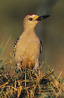 Golden-fronted Woodpecker, Melanerpes aurifrons,male, Willacy County, Rio Grande Valley, Texas, USA, May 2004