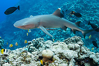 White-tipped Reef Shark, Triaenodon obesus, North Horn, Osprey Reef, Coral Sea Marine Park, Queensland, Australia, Coral Sea, Pacific Ocean, Coral Sea, South Pacific Ocean