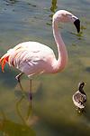 Flamingo, Bicentenial Park