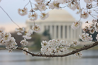 The Jefferson Memorial framed by cherry blossoms during the 2011 National Cherry Blossom Festival in Washington, DC