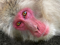Over 170 Japanese macaque monkeys inhabit Iwatayama Monkey Park.  In addition to the admission fee, there is a long hike up a steep mountain.  There monkeys are not in cages but keep to this area due to the frequent feedings.