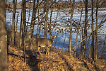 White-tailed doe in a woodland next to a frozen lake.