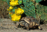 481158007 wild texas tortoise gopherus berlandieri rest under a blooming opuntia plant with yellow wildflowers in the rio grande valley south texas