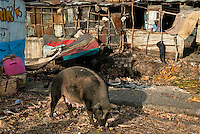 A pig eats garbage in front of shacks in a shanty town inside the La Saline market, Port-au-Prince, Haiti, 23 July 2008. Every day thousands of women from all over the city of Port-au-Prince try to resell supplies and food from questionable sources in the La Saline market. The informal sector significantly predominate within the poor Haitian economics and the regular shops virtually do not exist. La Saline is the largest street market area in Port-au-Prince.