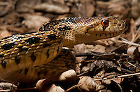 San Diego Gopher Snake<br />