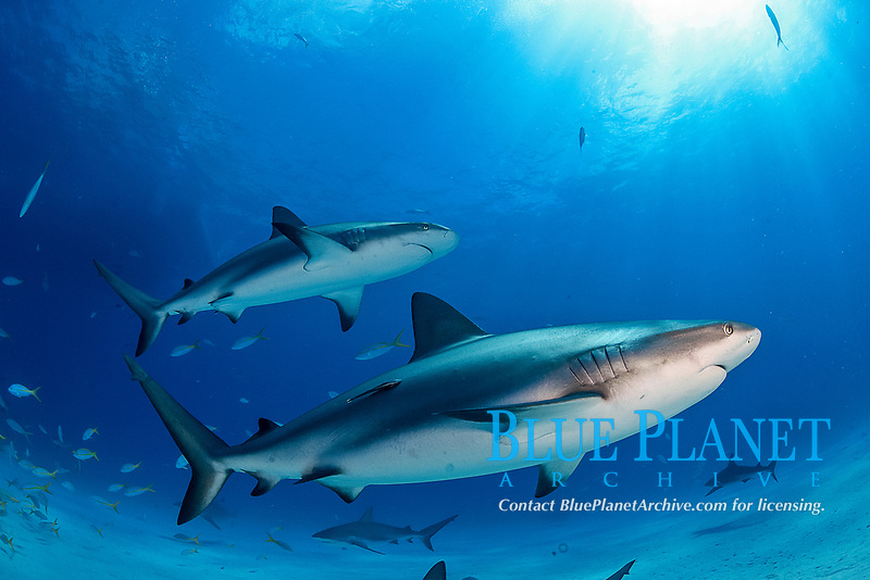 Caribbean Reef Sharks, Carcharhinus pereziii, Bahamas, Caribbean, Atlantic