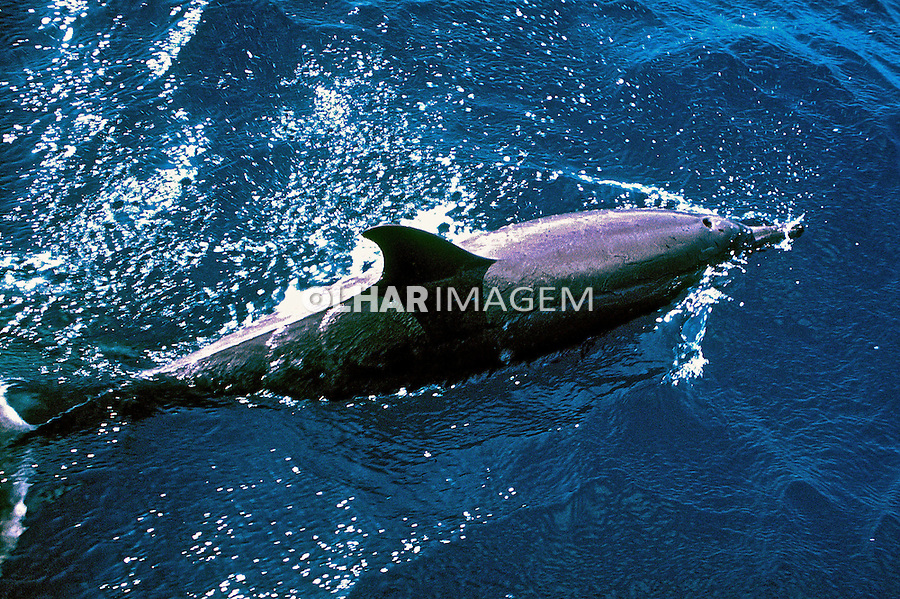 Animais. Mamiferos. Golfinhos rotadores (Stenella longirostris). Foto de Maristela Colucci.