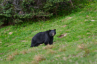 Black Bear (Ursus americanus) in subalpine meadow.  Olympic National Park, WA, summer.
