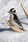 Downy woodpecker perched on a shed antler