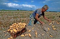 Europe/France/Pays de la Loire/85/Vendée/Ile de Noirmoutier: Récolte des pommes de terre de Noirmoutier- Bonnotte