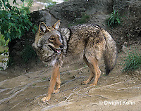 MA27-084z  Eastern Coyote - Canis latrans