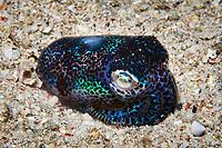hummingbird bobtail squid, Euprymna berryi, aka Berry's bobtail squid, Puerto Galera, Mindoro, Philippines, Indo-Pacific Ocean