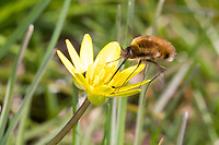 Großer Wollschweber, Wollschweber, Bütenbesuch an Scharbockskraut, Hummelschweber, Bombylius major, Large Bee-fly, dark-edged bee-fly, greater bee fly, beeflies, beefly, bee flies, bee fly, Le grand bombyle, Bombyliidae