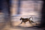 Yellow Baboon (Papio cynocephalus) running along the banks of the Luangwa River. South Luangwa National Park, Zambia.