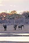 Elephants At Water Hole, Hwange Natl. Park