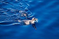 Adelie penguins, Pygoscelis adeliae, swimming, Cape Hallet, Antarctica