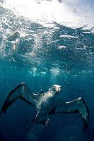 Shearwaters diving, Puffinus puffinus, Azores, Northern Atlantic Ocean