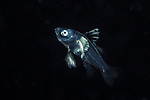 Harlequin Bass larva, Black Water Diving; Gulf Stream Current; Nauticam; Nikon; Pelagic marine life; Plankton; SE Florida Atlantic Ocean; extreme scuba diving; larval fish; macro underwater