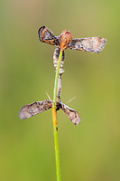A pair of Dimorphic Gray (Tornos scolopacinaria) moths mate while suspended from a plant stem.