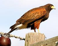 Harris's hawk adult on power pole