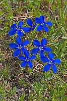 Frühlings-Enzian, Blauer Enzian, Frühlingsenzian, Gentiana verna, Spring gentian