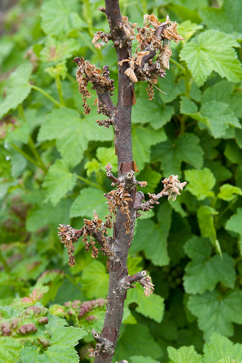 Redcurrant dieback, early May. Leaves withering, drying up and turning brown, and whole stems dying, may be a sign of gooseberry dieback, which can affect currants too. It is usually caused by a fungus, botrytis or eutypa.