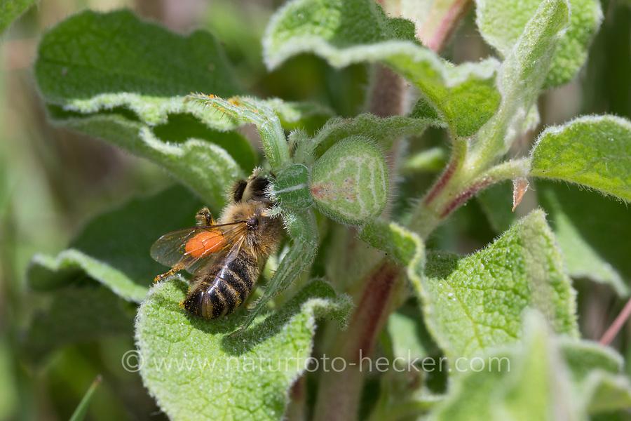 Krabbenspinne, hat eine Biene erbeutet, Beute, Räuber-Beute-Beziehung, Heriaeus spec., Green hairy crab spider, crab spider, prey, predator-prey relationship, Krabbenspinnen, Thomisidae, crab spiders