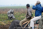 Tourists watching male and female Great One-horned Rhinoceros (Rhinoceros unicornis) mating. Kaziranga National Park, Assam, India.