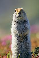 Arctic ground squirrel, Denali National Park, Alaska.