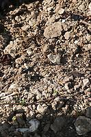 Soil detail. Stony. Calcareous. Domaine Charles Joguet, Clos de la Dioterie, Chinon, Loire, France