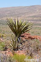 0317-1101  Mojave Yucca (Spanish Dagger), Mojave Desert and Great Basin, Yucca schidigera  © David Kuhn/Dwight Kuhn Photography