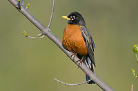 Adult male American Robin (Turdus migratorius). Tompkins County, New York. May.