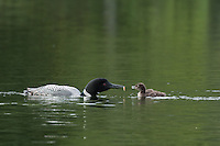 """""""Loon Feeding Chick""""<br /> <br /> I was fortunate to spend two hours observing and photographing the interactions of a loon family on Birch Lake.<br /> ~ Day 111 of Inspired by Wilderness: A Four Season Solo Canoe Journey"""
