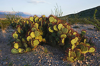 Prickly Pear Cactus (Opuntia sp.) in desert, Chisos Mountains, Big Bend National Park, Chihuahuan Desert, West Texas, USA
