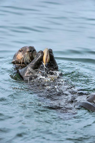 Southern sea otter (Enhydra lutris nereis) using tool--cracking open clam on or with rock.  California Coast.